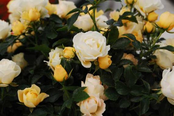 Image result for popcorn drift rose